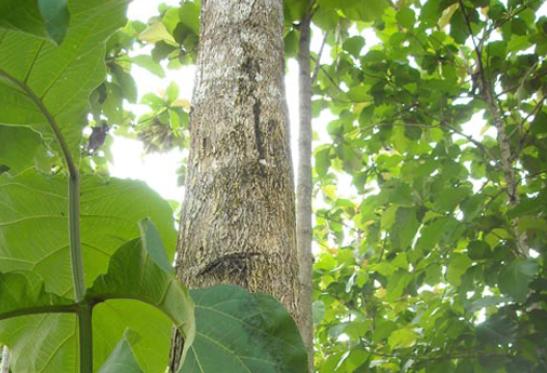 Cây gỗ Teak (Giá Tỵ)